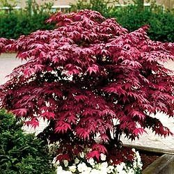 japanese-red-maple-tree-1-2-feet-tall-in-trade-gallon-containers