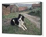 Canvas Print of Border Collie On Farm from Rspca