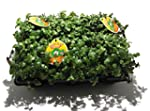 6 x Golliwoog - Futterpflanze f�r Bar...