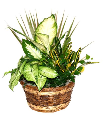Espresso Gift Basket with Live Tropical Foliage Plants.