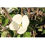 Cornus Venus (Blumenhartriegel) - kräftige Pflanze im 7,5lt. Topf, 80-100cm