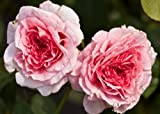 Rosa James Galway 'Auscrystal' (Rose James Galway) 4.5l or 6l rose pot