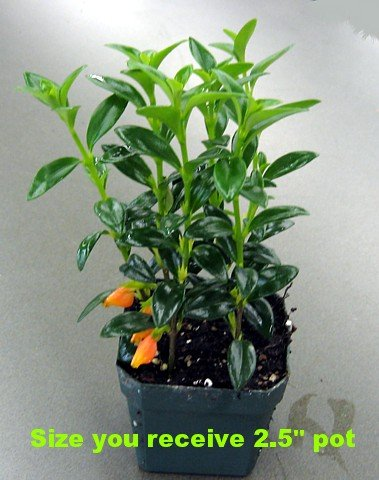 columnea goldfish plant. 2011 Goldfish plant is an easy