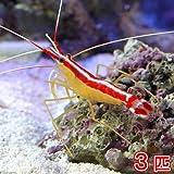(海水魚 エビ)スカンクシュリンプ Mサイズ(3匹) 本州・四国限定[生体]