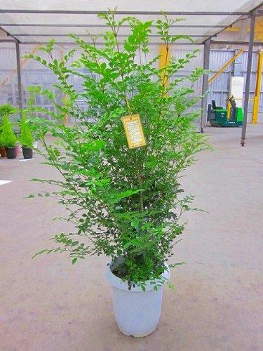 シマトネリコ(8号鉢)とても涼しげでサラサラと風に揺れる姿が癒される人気の観葉植物です。複数本の株立ちで葉のボリュームがあります。インテリアやガーデニングに人気です。