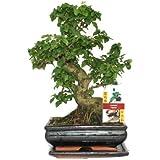 Troène chinois - Ligustrum sinensis de bonsaï - 8 ans