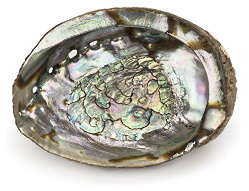 Abalone Shell (M)