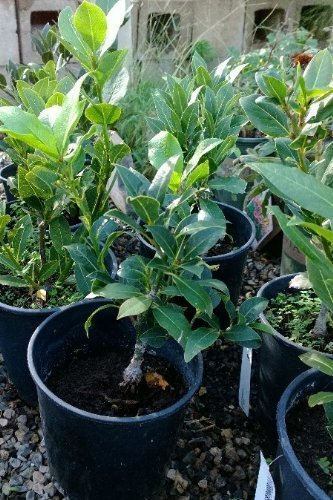 Growing Bay Laurel How To Care For Your Bay Tree