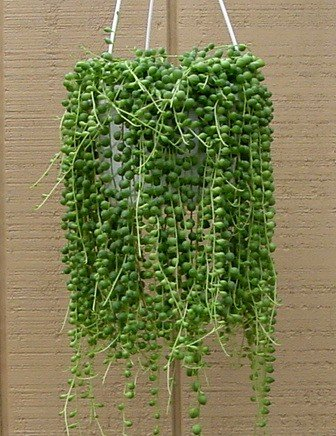 Buy String of Pearls – 4″ Hanging Basket – Senecio