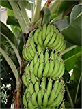9GreenBox - Dwarf Cavendish Banana - 5 Seeds