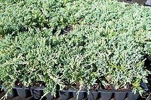 Amazon Com Juniper Blue Rug Ground Cover 1 Tray 60