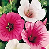 Suttons Seeds 120581 Malope Strawberries and Cream Mix Seed