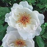 バラ苗 ジャクリーヌデュプレ 国産大苗6号スリット鉢 つるバラ(CL) 四季咲き 白系