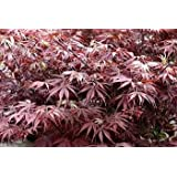 Suminagashi Japanese Maple 10 Seeds- Outdoors or Bonsai