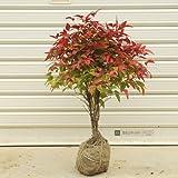 庭木:南天(お多福南天・大) W:約30cm