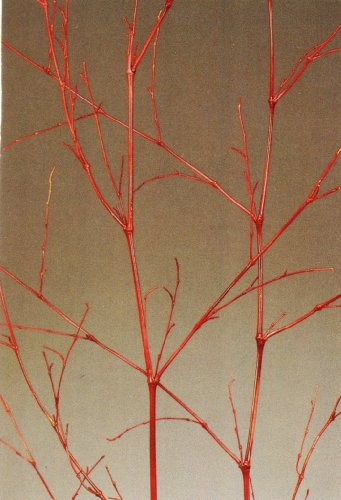 Green Earth Accents Bamboo Spray 4 Feet Tall, Package of 5 - Red