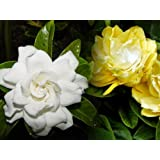 "Rare 'Golden Magic' Gardenia - Changes Color from Ivory to Yellow/Gold-2.5"" Pot"