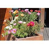 Flower Seeds : Nau Bajiya - 9 O'Clock Flower Flower Seeds For Garden - Kitchen Garden Pack By Creative Farmer