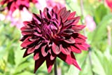 Hapet® Kennedy - Semi-Cactus Dahlia - A strong young plant in a 1.3 L container