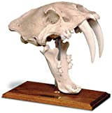 Saber Tooth Tiger Skull W/Stand - Antique Finish