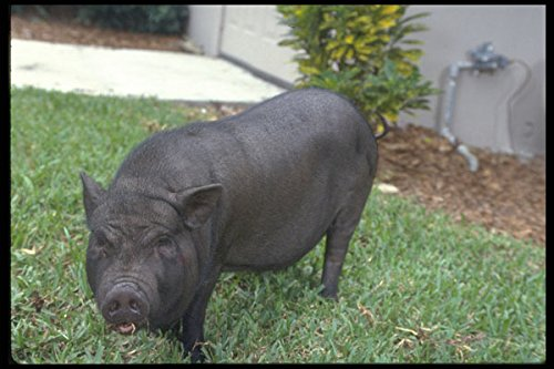 574027-vietnamese-pot-bellied-pig-named-oscar-mayer-a4-photo-poster-print-10x8