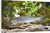 Canvas Prints of European Chub - Single juvenile photographed underwater from Ardea Wildlife Pets Reviews