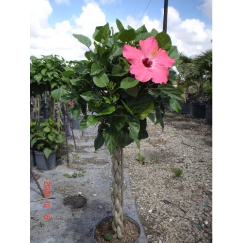 Amazon.com : Twisted Hibiscus Tree 3 Gallon : Hibiscus