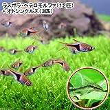 (熱帯魚)ラスボラ・ヘテロモルファ(12匹) + オトシンクルス(3匹) 本州・四国限定[生体]