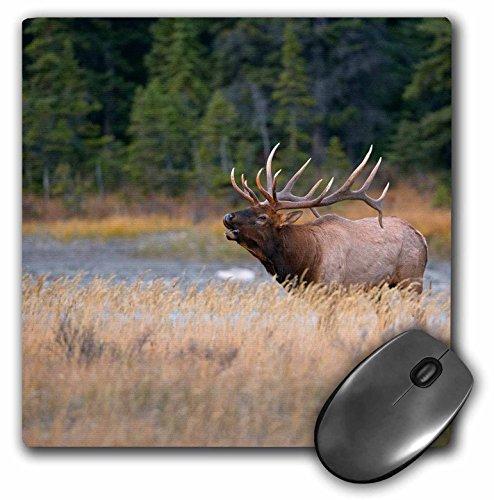 danita-delimont-deer-canada-alberta-rocky-mountain-elk-bugles-during-fall-rut-jasper-np-mousepad-mp-