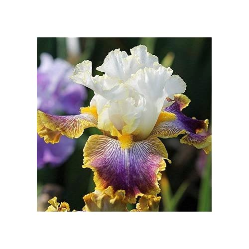 Amazon.com : Patchwork Puzzle Tall Bearded Iris Rhizome