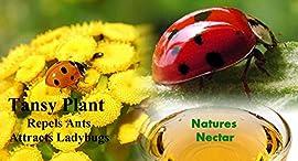 Live Ladybugs - Approximately 1550 + Hirt's Nature NectarTM & Live Tansy Plant