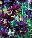 Swanley Village Nursery 5 X Aquilegia Barlow Black Plug Plants Herbaceous