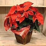 クリスマスの贈り物に♪ ポインセチア4号鉢 当店オリジナルバスケット付 バスケットカラー:ブラウン 鉢植え ギフト プレゼント 鉢花