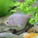 (淡水魚)タイリクバラタナゴ(10匹) 本州・四国限定[生体]