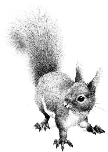 Squirrel rubber stamp WM 2.25x1.5