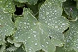 Alchemilla mollis (Lady's mantle) 2 ltr pot