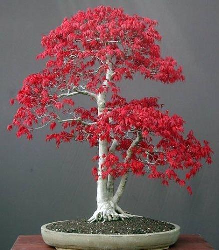 acer-palmatum-arce-japones-bonsai-20-semillas