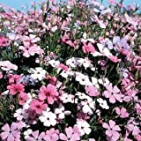 500 Oculata MIXED COLORS VISCARIA (Rose of Heaven / Rose Angel) Silene Coeli-Rosa Flower Seeds