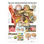 The Ear: Organs of Hearing and Balanc...