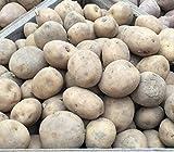 10 Sante Maincrop Seed Potatoes