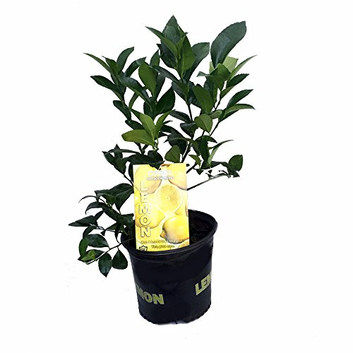 meyer-lemon-tree-fruiting-size-branched-plant-8-pot-indoors-out