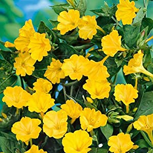 Four O'Clock Seeds Yellow - 1 LB