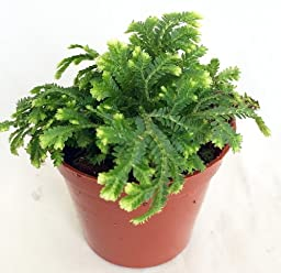 Frosty Fern Spike Moss - Selaginella - Easy to Grow - 2.5\