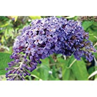 Adonis Blue TM English Butterfly Bush - Buddleia - Proven Winner - 4