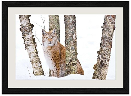 Bobcat Snow - Art Print Wall Black Wood Grain Framed Picture(20x14inch)