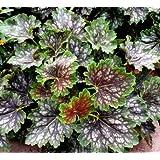 Marvelous Marbles Coral Bells 50 Seeds - Heuchera