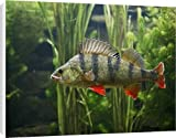 Canvas Prints of Perch - use weeds as camouflage, dorsal fin up, turning from Ardea Wildlife Pets