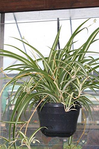 planta-de-interior-planta-para-la-casa-o-la-oficina-chlorophytum-planta-arana-planta-frondosa