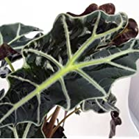 Amazon Black Shield Plant - Alocasia Polly - Houseplant - 4