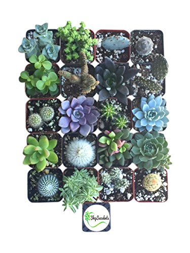 shop-succulents-cactus-and-succulent-collection-of-20